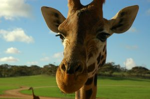 Giraffe 479656_1280